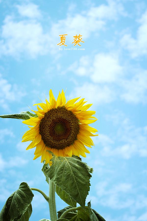 木耳镇向日葵-双陈记夏葵